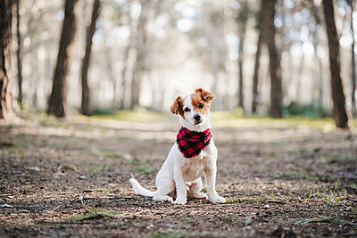 Jack Russell Terrier dog with scarf sitting in forest - p300m2251014 by Eva Blanco