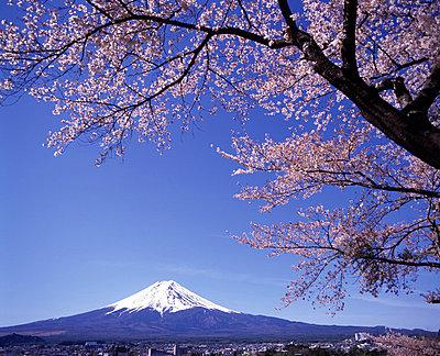 Fujiyama under cherry blossoms - p3489092 by Hiroshi Higuchi