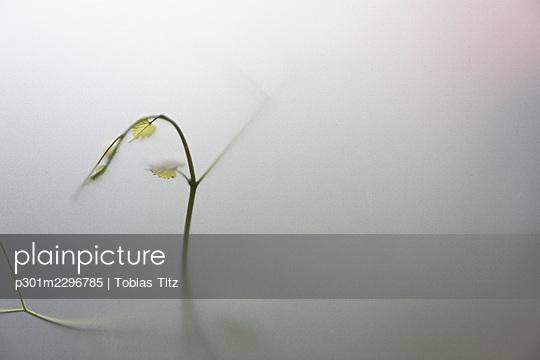 Green vine in fog - p301m2296785 by Tobias Titz