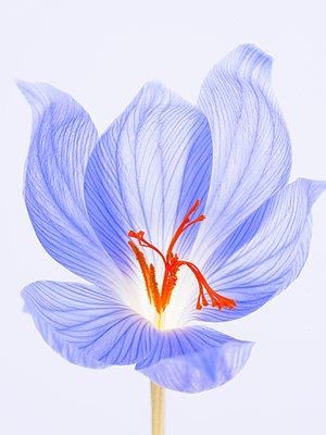 Blütenstand eines Krokus - p1270m1114524 von Cédric Porchez