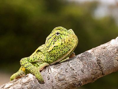 Afrikanisches Chameleon, chameleo africanus - p1463m2230990 von Wolfgang Simlinger