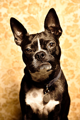 Portrait of Boston Terrier - p3721979 by David Torrence Photography