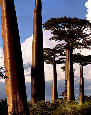 Baobabs auf Madagaskar - p1016m792560 von Jochen Knobloch