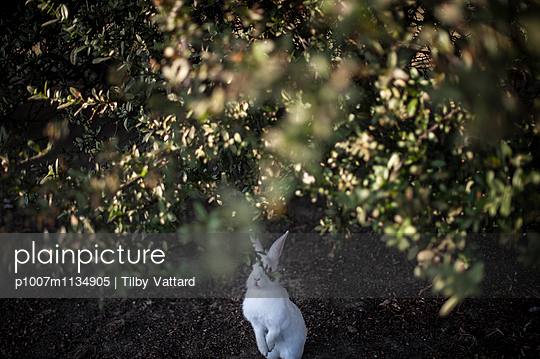 White rabbit under golden leaves - p1007m1134905 by Tilby Vattard