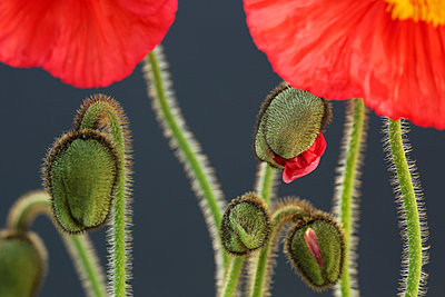 Vibrant Iceland Poppy Blossoms and Buds Against A Dark Background - p1166m2151753 by Cavan Images