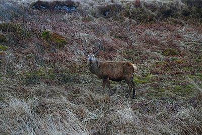Red deer - p1289m1556688 by Elisabeth Blanchet