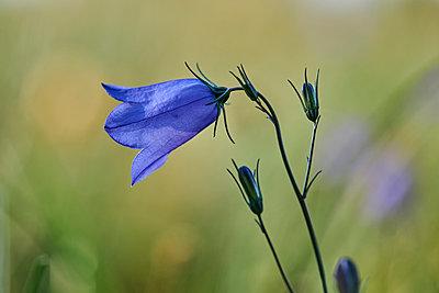 Blue flower - p1696m2296507 by Alexander Schönberg
