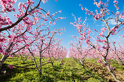 Blooming cherry trees in rural field - p555m1412276 by Jeremy Woodhouse