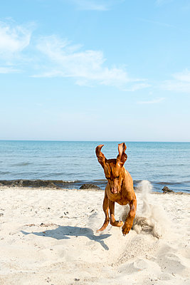 Dog playing on beach - p739m1138450 by Baertels