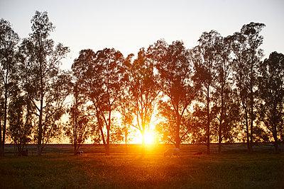 Sonnenuntergang und Stiere - p887m1124772 von Christian Kuhn