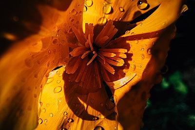 Petals with dewdrops, close-up - p1532m2181912 by estelle poulalion