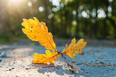 Autumn leaf on sunny day - p312m1114016f by Mikael Svensson