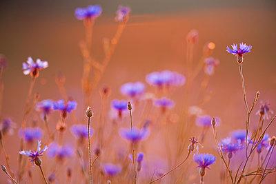 Cornflowers at sunset - p533m1525222 by Böhm Monika
