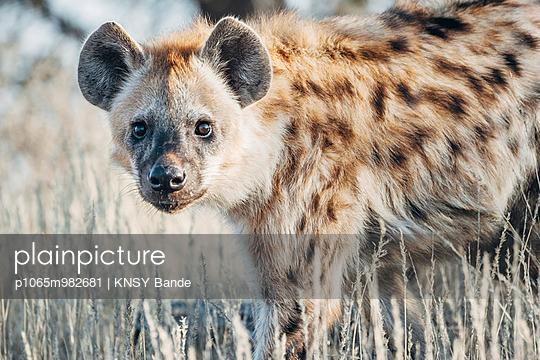 Porträt einer Tüpfelhyäne, Kalahari, Südafrika - p1065m982681 von KNSY Bande