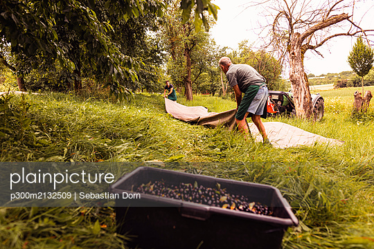 Two men during cherry harvest in orchard, laying out tarpaulin - p300m2132509 by Sebastian Dorn