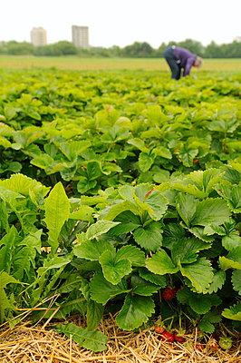 Strawberries - p470m830641 by Ingrid Michel