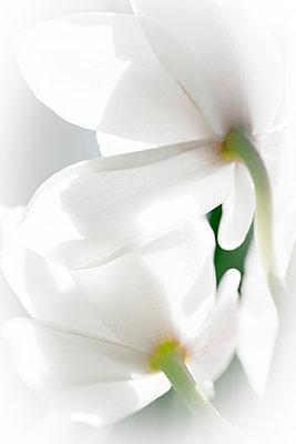 Blüte - p647m1119954 von Tine Butter