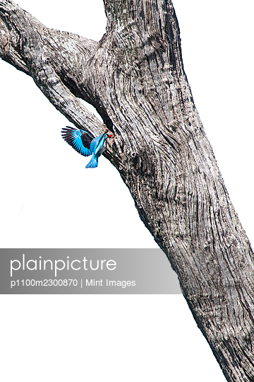 Woodland Kingfisher, Halcyon senegalensis, flies up to its nest - p1100m2300870 by Mint Images