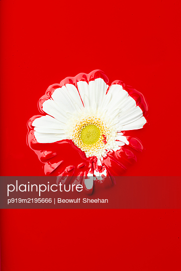 Red painted Gerbera in front of red background - p919m2195666 by Beowulf Sheehan
