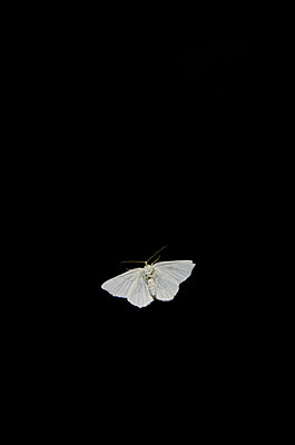 White Moth on Black - p694m844270 by Eric Schwortz