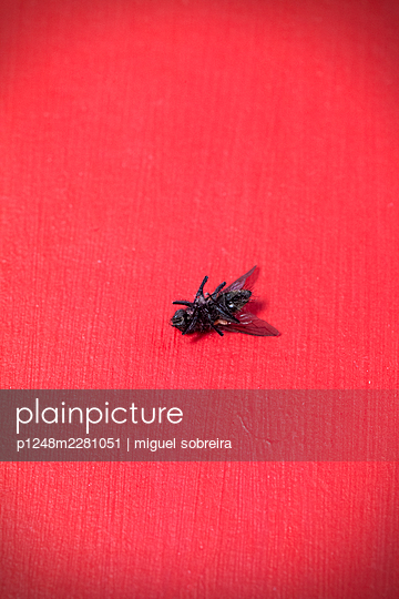 Dead fly on red background - p1248m2281051 by miguel sobreira