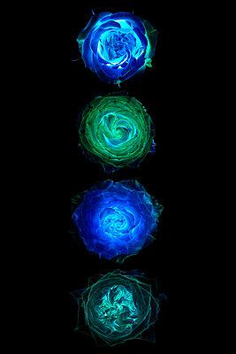 inverted Roses - p587m1466583 von Spitta + Hellwig