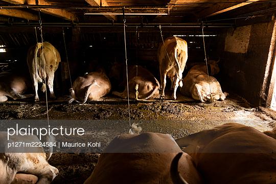 Kühe im Stall, Tirol, Österreich - p1271m2224584 von Maurice Kohl