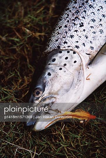 Forelle - p1418m1571369 von Jan Håkan Dahlström