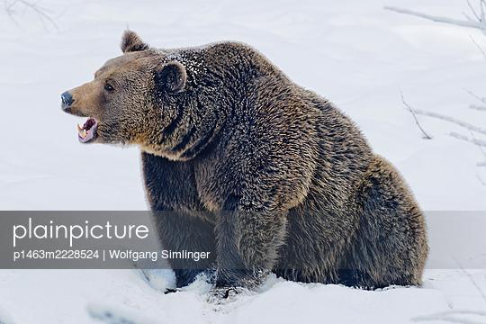 Braunbär (ursus arctos) im Schnee - p1463m2228524 von Wolfgang Simlinger