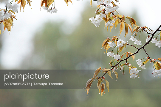 Cherry blossoms - p307m962371f by Tetsuya Tanooka
