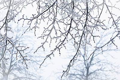 Ice on branches - p1149m1092671 by Yvonne Röder
