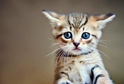 A little tabby kitten close-up - p301m731156f by Tamara Lackey
