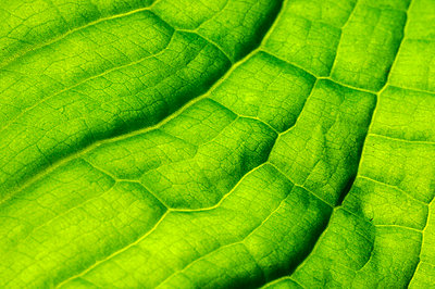 Scandinavia, Sweden, Gothenburg, Leaf vein, close-up - p5755831 by Mikael Svensson