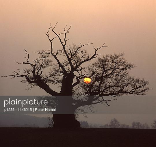 Sonnenaufgang im Reinhardswald, Hutebaum - p1258m1146215 von Peter Hamel