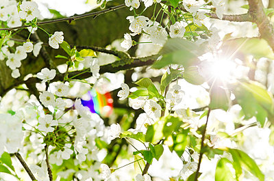 White cherry blossoms - p300m980655f by Canan Czemmel
