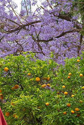 Fruit trees - p418m813213 by TAS