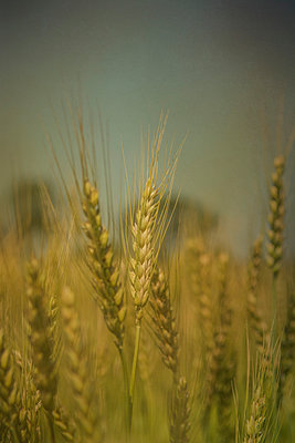 Wheat field  - p794m1035045 by Mohamad Itani