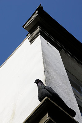 Pidgeon - p067m1000233 by Thomas Grimm