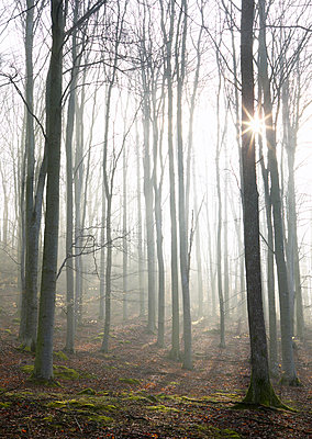 Forest in fog - p312m1228831 by Stefan Isaksson