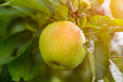 Germany, apple in tree - p300m2042204 by JLPfeifer