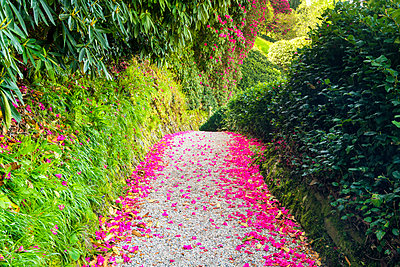 Rhododendron Flower Petal Lined Path, Lanhydrock, Bodman, Cornwall, England - p651m2032907 by Tom Mackie