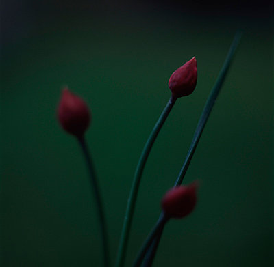 Chive Flower Buds - p8473335 by Anna Clarén
