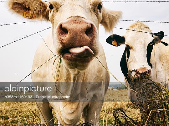 Zwei Kühe auf einer Weide - p358m1160193 von Frank Muckenheim