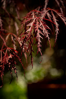 Close-up of Japanese maple leaves - p1047m1573288 by Sally Mundy