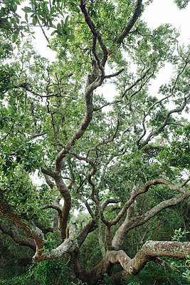 Oak Tree Branches - p1262m1584290 by Maryanne Gobble