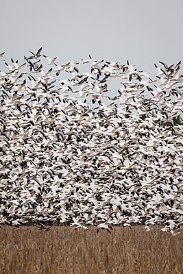 Thousands of Snow Geese blast off from a field - p1480m2148221 by Brian W. Downs