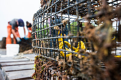 An Oyster Restoration Volunteers Behind A Cage Used For Raising Oyster Spats To Adults - p343m1223791 by Joe Klementovich