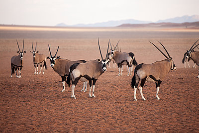 Oryx in the Namib Desert, Namibia, Africa - p871m1082248 by Neil Emmerson