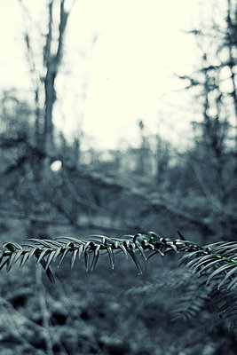 Coniferous forest - p879m1537999 by nico