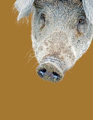 Schwein - p9790659 von Servas